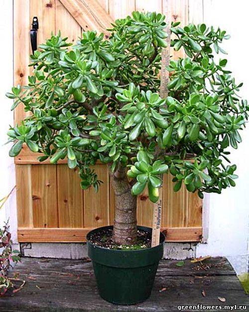 Вот как правильно посадить денежное дерево, чтобы в доме было благополучие!