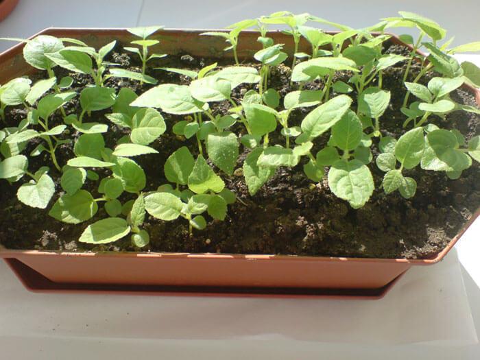 Выращиваем киви дома!