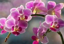 Секреты рассадки орхидей: как 1 растение превратить 100