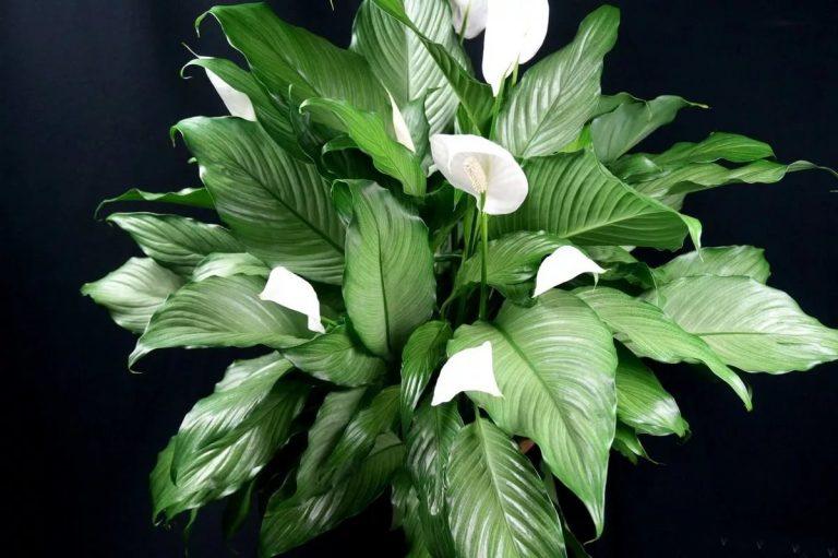 Народные приметы о цветке спатифиллум