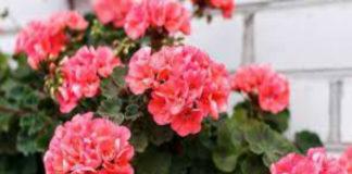 Пеларгония. Правильная обрезка для пышного цветения