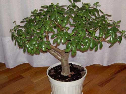 Денежное» дерево