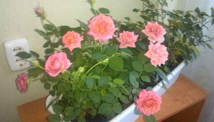 Как правильно пересадить комнатную розу после покупки