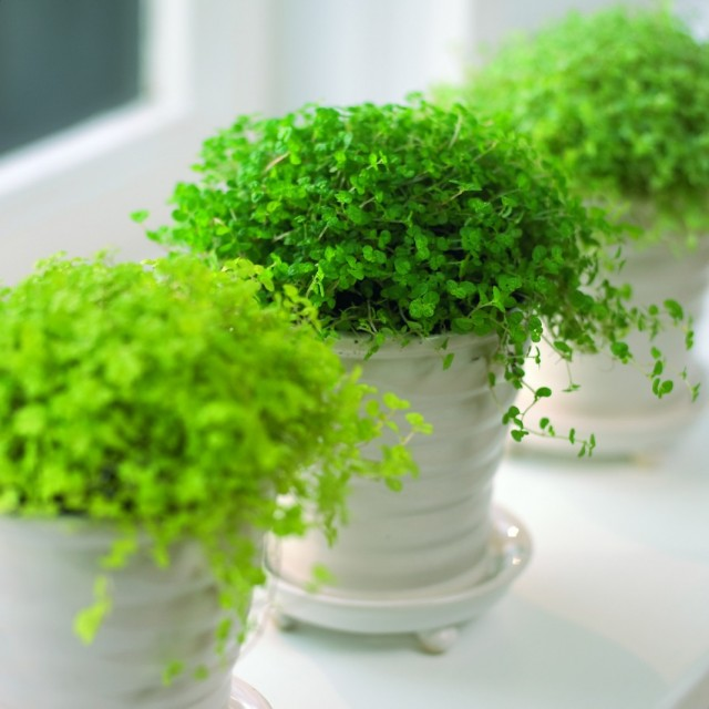 Лучшие ажурные комнатные растения