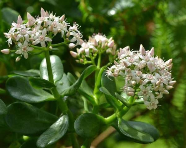 Как добиться цветения денежного дерева и обрести удачу и богатство (видео)