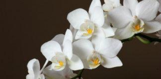 Средство, от которого орхидеи очень хорошо цветут