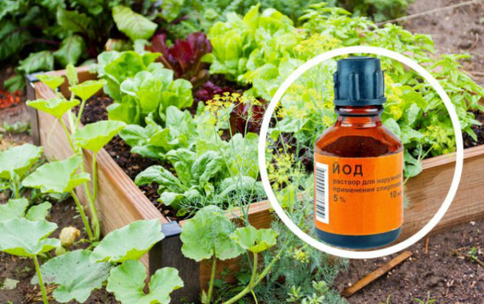 Чем полезен йод для огорода и комнатных растений