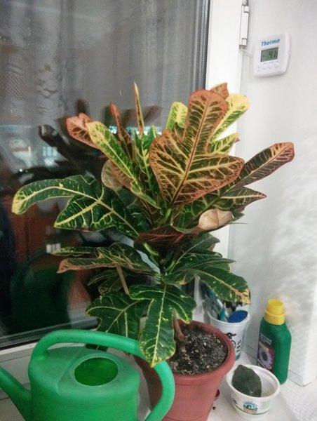 кротон сбросил нижние листья, но по-прежнему, очень красив!