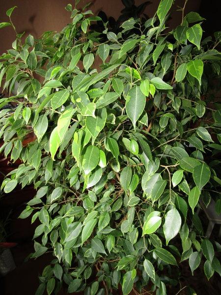 Мой Бенджамин радует зелёной листвой