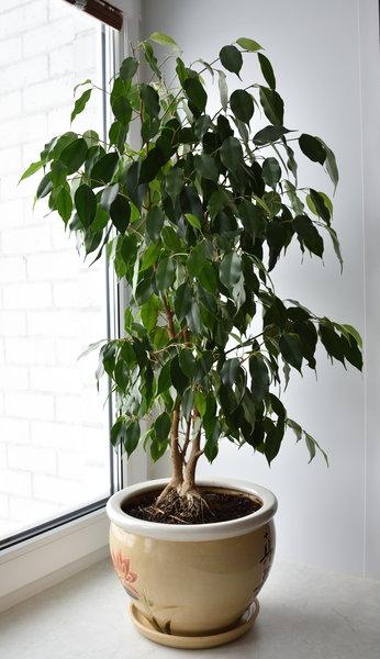 """Мой зелёный любимчик. В первый год выращивания фикуса Бенджамина и он """"лысел"""". Фото ноября 2018 года из личного архива"""