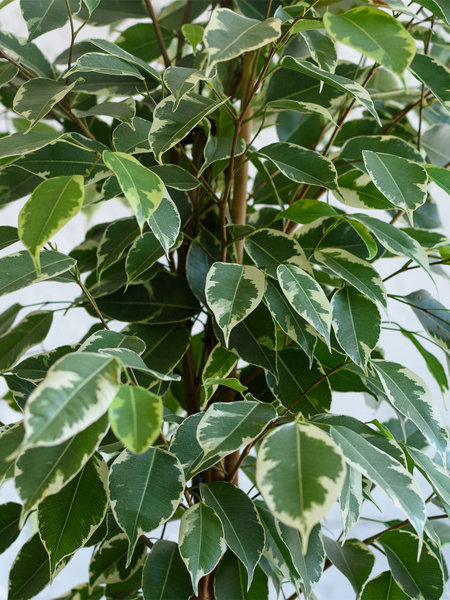 Пестролистный сорт фикуса Бенджамина. При сухом воздухе растение избавляется от листьев, чтобы уменьшить площадь испарения влаги