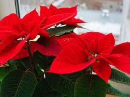Рождественская звезда – как ухаживать за пуансеттией дома