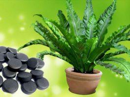 Активированный уголь: отличная подкормка для комнатных цветов