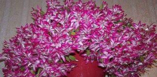 Касторовое масло для пышного и яркого цветения Источник: http://101dizain.ru/hitrosti/kastorovoe-maslo-dlya-pyshnogo-i-yarkogo-cveteniy.html?utm_source=fb&fbclid=IwAR3ggiU0ZTb0RA8Z2BdpDHGd3TORA_Nb_21jxl-naKGb1vMaPIzG7qITVPI