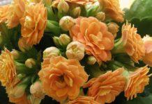 Что нужно КАЛАНХОЭ для цветения