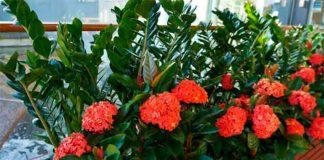 Как влияет Долларовое дерево на дом: приметы и суеверия