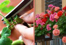 Обрезка герани для пышного цветения в домашних условиях