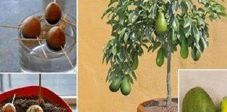 Как вырастить авокадо в небольшом горшке