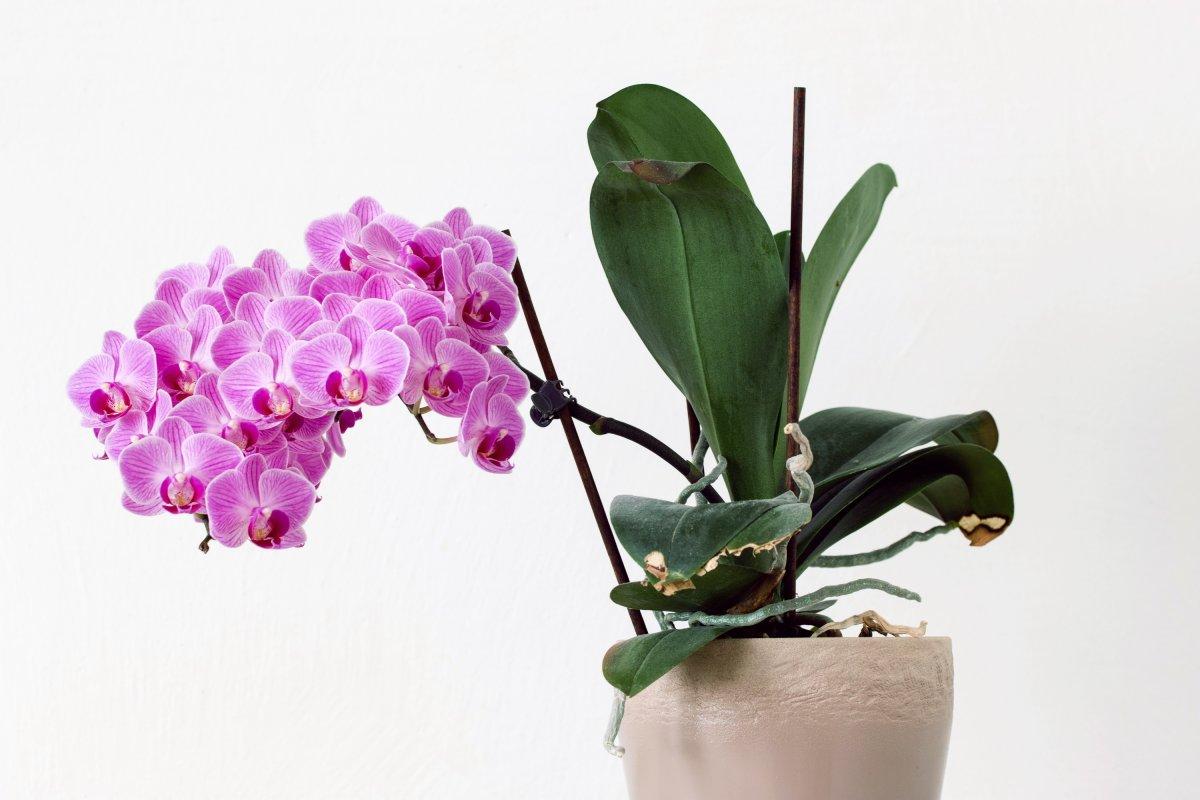 https://ogorod-bez-hlopot.ru/wp-content/uploads/2019/04/tcveteniia-orhidei.jpg
