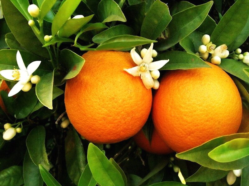 https://prolife.ru.com/wp-content/uploads/2018/03/vetka_apelsina-1.jpg