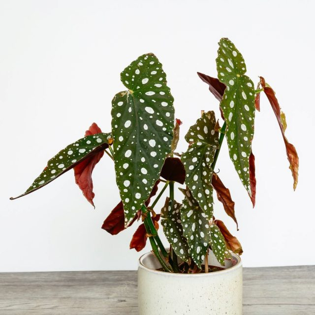 Бегония «Макулата» (Begonia Maculata), как и другие бегонии, не терпит переувлажнения