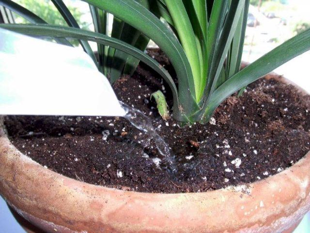 Cамой большой ошибкой в выращивании кливии будет невнимательный полив