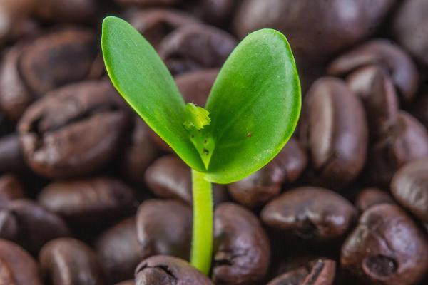 Кофейное зерно — семя кофейного дерева