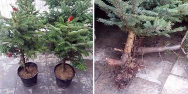 новогодняя елка купить выбрать посадить
