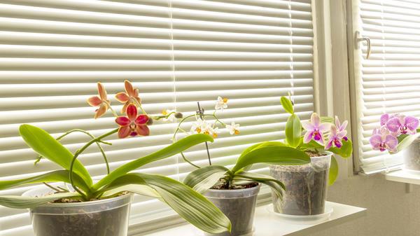 Если вы выращиваете орхидеи на южном окне, используйте жалюзи для защиты растений от солнечных ожогов