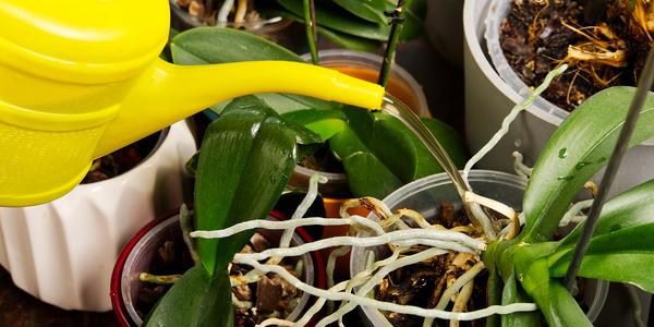 Есть несколько способов полива орхидей