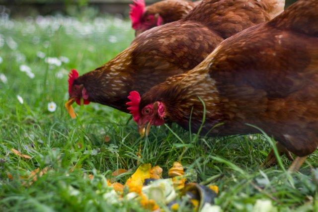 Куры едят овощи