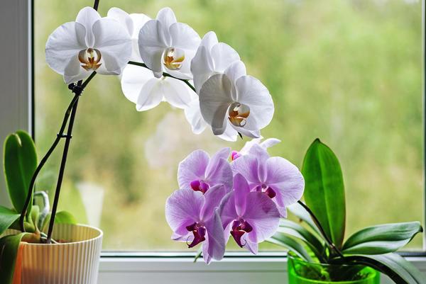 Почему некоторые орхидеи категорически отказываются цвести?