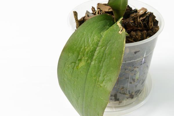 Тургор листьев может снижаться из-за низкой влажности воздуха