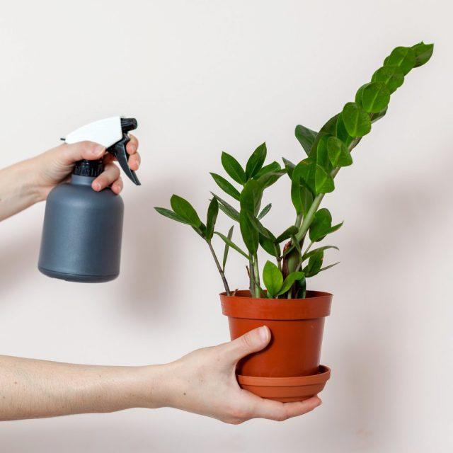 Замиокулькасам нет нужды увеличивать влажность воздуха ни одним методом, тем более опрыскиваниями